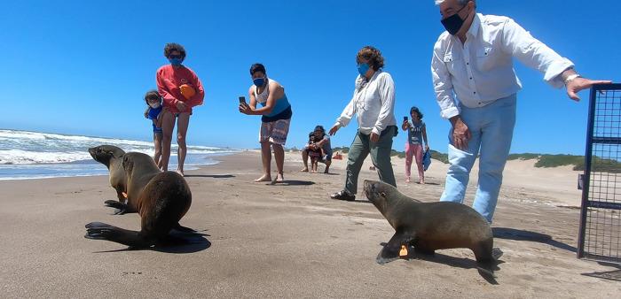 Feliz retorno: volvió al mar el lobo marino rescatado en las costas de Berazategui