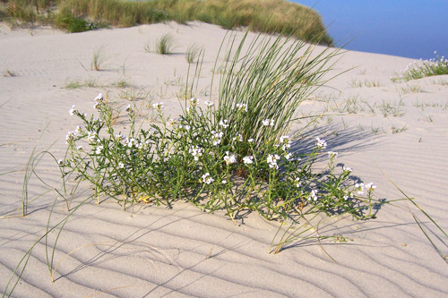 4Sea coalitie vraagt om strandbloemen te laten bloeien (ook na corona)