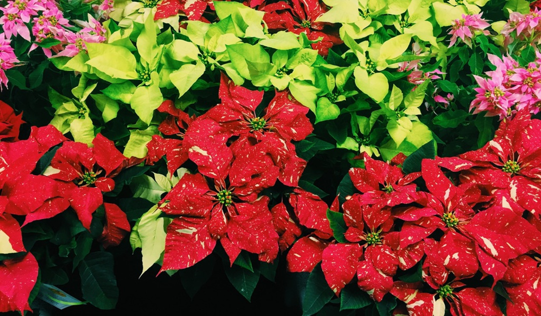 Pike Nurseries is celebrating National Poinsettia Day by offering 19 colorful varieties
