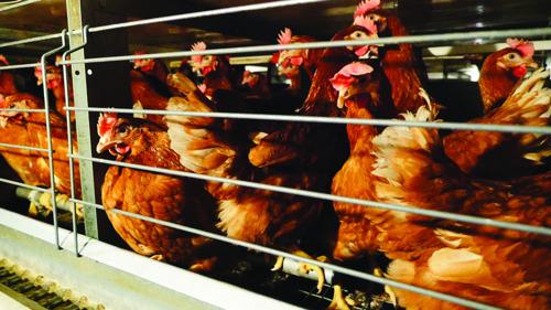WERELDDIERENDAG // 1,4 miljoen voor verbod kooisystemen landbouwdieren overhandigd aan Europese Commissie