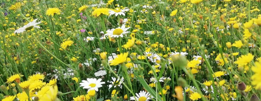 Een aangepast meerjarig bloemenmengsel zorgt voor meer bestuiving van landbouwgewassen en een hogere biodiversiteit. En het ziet er nog eens mooi uit ook.