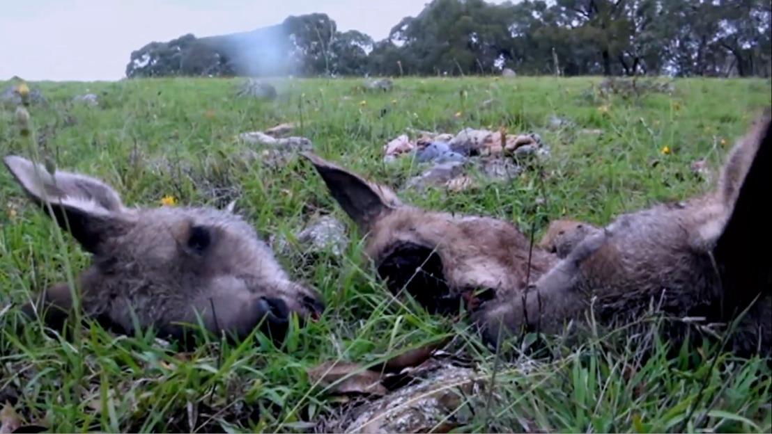 NIEUWE CAMPAGNE // GAIA wil kangoeroevlees uit de Belgische winkelrekken