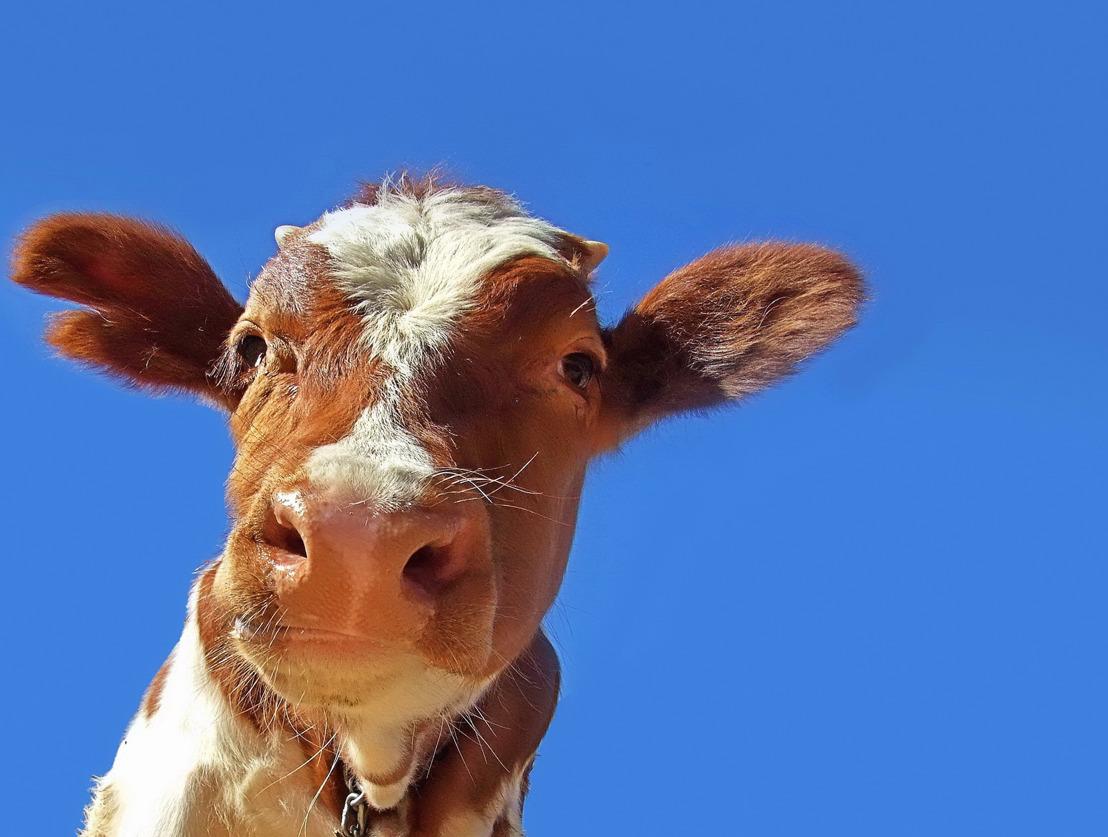 Heureuse nouvelle : les 69 bovins belges ne seront finalement pas abattus