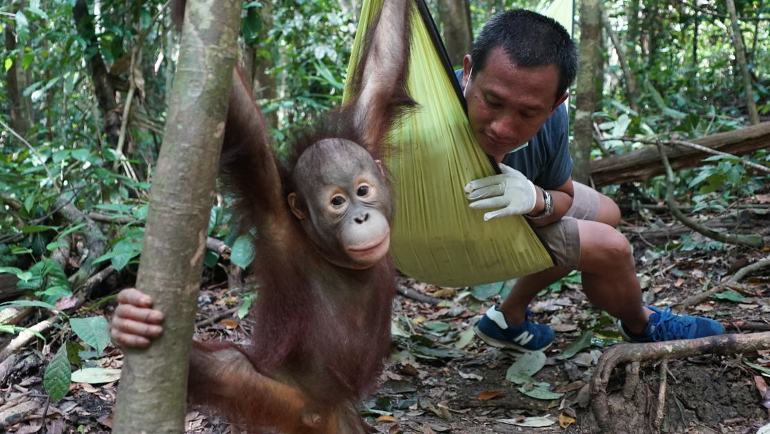 Young rescued orangutan with Hardi Baktiantoro who runs the Centre for Orangutan Protection in Indonesian Borneo