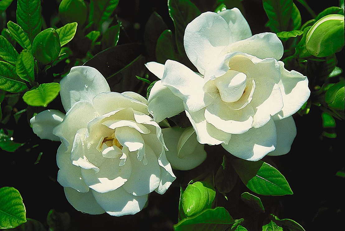 Gardenia August Beauty (photo credit Pike Nurseries)