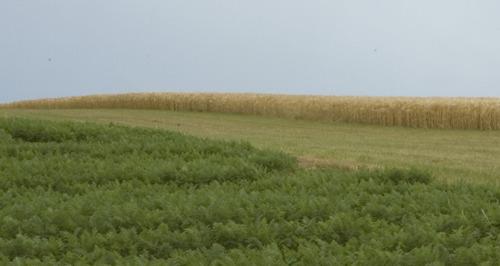 Optimaal fosforgehalte verzoent goede gewasopbrengsten met beperkte fosforverliezen